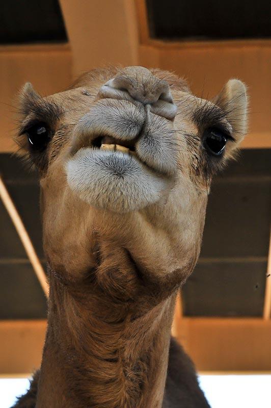 Ферма по разведению... верблюдов!